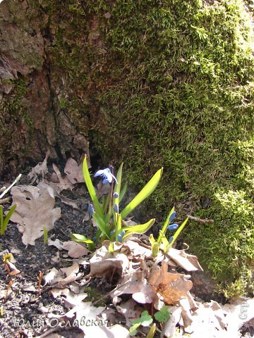 Каждый год весной мы всей семьей выбираемся в лес полюбоваться на эти замечательные цветы. Пролеска - чудесный цветок, который возвещает о приходе весны и тепла! фото 6