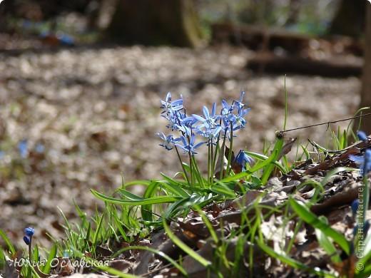 Каждый год весной мы всей семьей выбираемся в лес полюбоваться на эти замечательные цветы. Пролеска - чудесный цветок, который возвещает о приходе весны и тепла! фото 7