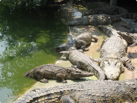 """""""Договорились я и мама, дождаться выходного и посмотреть""""... Нет, сегодня мы пойдем смотреть не гиппопотама, а крокодилов.  фото 10"""