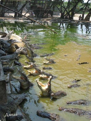 """""""Договорились я и мама, дождаться выходного и посмотреть""""... Нет, сегодня мы пойдем смотреть не гиппопотама, а крокодилов.  фото 14"""