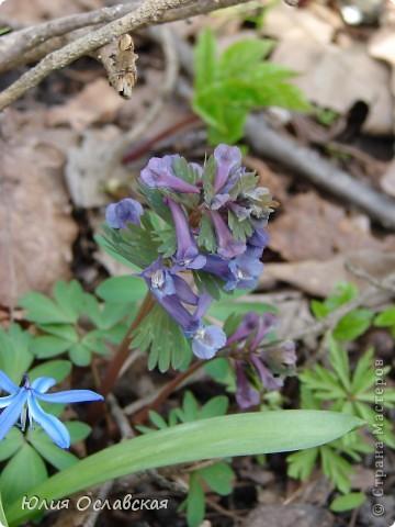 Каждый год весной мы всей семьей выбираемся в лес полюбоваться на эти замечательные цветы. Пролеска - чудесный цветок, который возвещает о приходе весны и тепла! фото 5