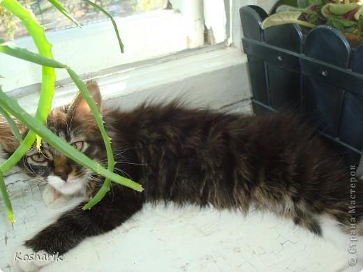 Здравствуйте... Этот фоторепортаж я посвящаю своей кошечке, маленькой красавице Маруське... Эта маленькая кошечка по имени Маруська, обитает в моей квартире, она любит лежать на подоконниках, играть, лазить везде...День рождения отмечает в один день со мной...Настоящая кошка, которая гуляет сама по себе... фото 1