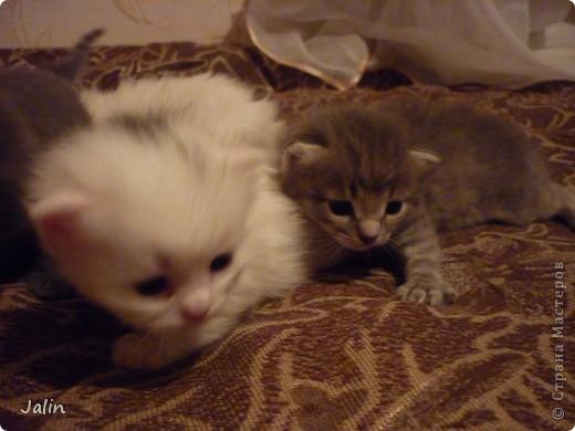 Спешу поделиться нашим счастьем! ))) 3 апреля у нашей любимой киски Алисоньки появились на свет четыре замечательных котеночка! Котятки немного подросли и уже можно похвалиться фотографиями ))) фото 13
