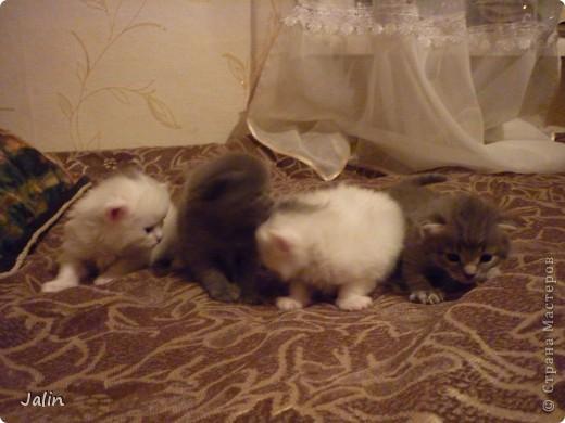 Спешу поделиться нашим счастьем! ))) 3 апреля у нашей любимой киски Алисоньки появились на свет четыре замечательных котеночка! Котятки немного подросли и уже можно похвалиться фотографиями ))) фото 14
