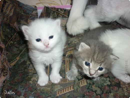 Спешу поделиться нашим счастьем! ))) 3 апреля у нашей любимой киски Алисоньки появились на свет четыре замечательных котеночка! Котятки немного подросли и уже можно похвалиться фотографиями ))) фото 15