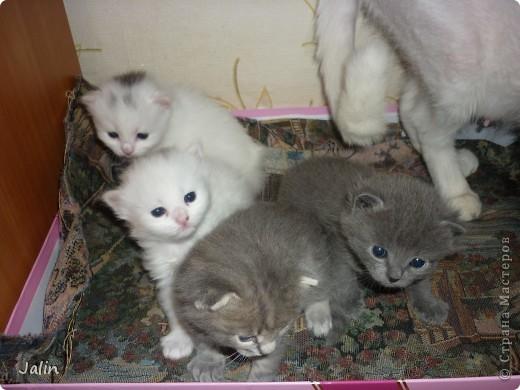 Спешу поделиться нашим счастьем! ))) 3 апреля у нашей любимой киски Алисоньки появились на свет четыре замечательных котеночка! Котятки немного подросли и уже можно похвалиться фотографиями ))) фото 1