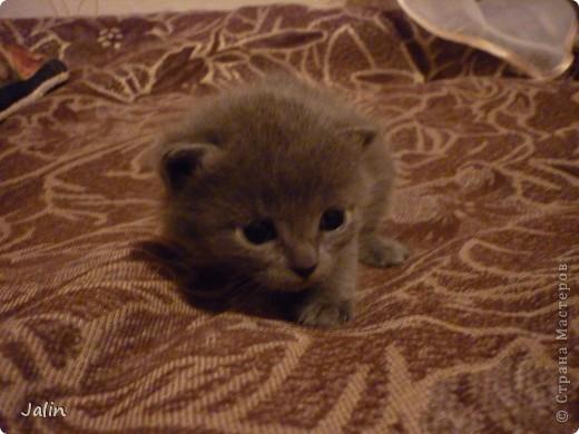 Спешу поделиться нашим счастьем! ))) 3 апреля у нашей любимой киски Алисоньки появились на свет четыре замечательных котеночка! Котятки немного подросли и уже можно похвалиться фотографиями ))) фото 9