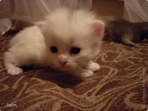 Спешу поделиться нашим счастьем! ))) 3 апреля у нашей любимой киски Алисоньки появились на свет четыре замечательных котеночка! Котятки немного подросли и уже можно похвалиться фотографиями ))) фото 8