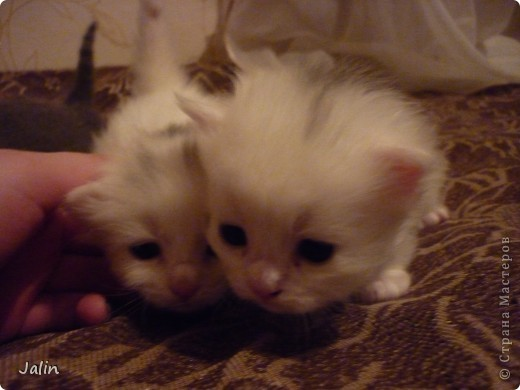 Спешу поделиться нашим счастьем! ))) 3 апреля у нашей любимой киски Алисоньки появились на свет четыре замечательных котеночка! Котятки немного подросли и уже можно похвалиться фотографиями ))) фото 11