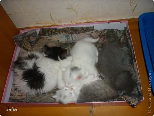 Спешу поделиться нашим счастьем! ))) 3 апреля у нашей любимой киски Алисоньки появились на свет четыре замечательных котеночка! Котятки немного подросли и уже можно похвалиться фотографиями ))) фото 18