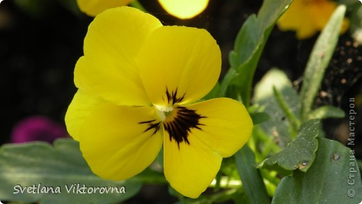 Лютик борецелистиый — Ranunculus aconitifolius L.    http://flower.onego.ru/lukov/ranuncul.html фото 8