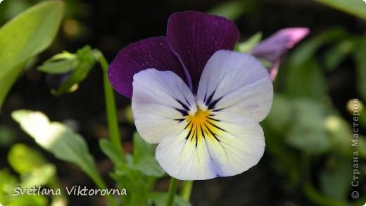 Лютик борецелистиый — Ranunculus aconitifolius L.    http://flower.onego.ru/lukov/ranuncul.html фото 11