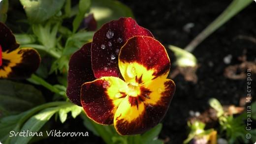 Лютик борецелистиый — Ranunculus aconitifolius L.    http://flower.onego.ru/lukov/ranuncul.html фото 12