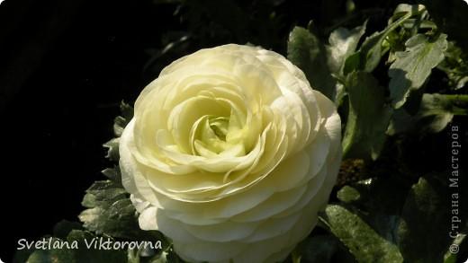 Лютик борецелистиый — Ranunculus aconitifolius L.    http://flower.onego.ru/lukov/ranuncul.html фото 13