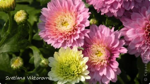 Лютик борецелистиый — Ranunculus aconitifolius L.    http://flower.onego.ru/lukov/ranuncul.html фото 15