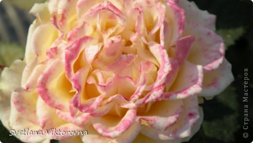 Лютик борецелистиый — Ranunculus aconitifolius L.    http://flower.onego.ru/lukov/ranuncul.html фото 17
