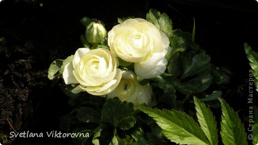 Лютик борецелистиый — Ranunculus aconitifolius L.    http://flower.onego.ru/lukov/ranuncul.html фото 19