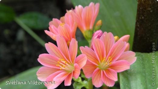 Лютик борецелистиый — Ranunculus aconitifolius L.    http://flower.onego.ru/lukov/ranuncul.html фото 22