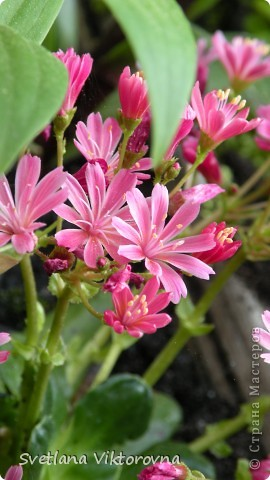 Лютик борецелистиый — Ranunculus aconitifolius L.    http://flower.onego.ru/lukov/ranuncul.html фото 23