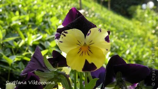 Лютик борецелистиый — Ranunculus aconitifolius L.    http://flower.onego.ru/lukov/ranuncul.html фото 29