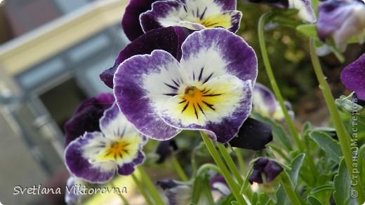 Лютик борецелистиый — Ranunculus aconitifolius L.    http://flower.onego.ru/lukov/ranuncul.html фото 30