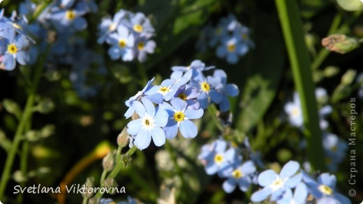 Лютик борецелистиый — Ranunculus aconitifolius L.    http://flower.onego.ru/lukov/ranuncul.html фото 31