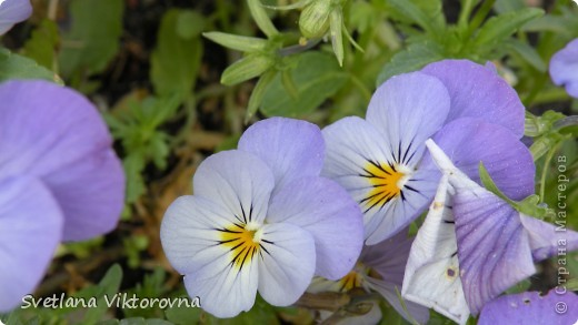 Лютик борецелистиый — Ranunculus aconitifolius L.    http://flower.onego.ru/lukov/ranuncul.html фото 33
