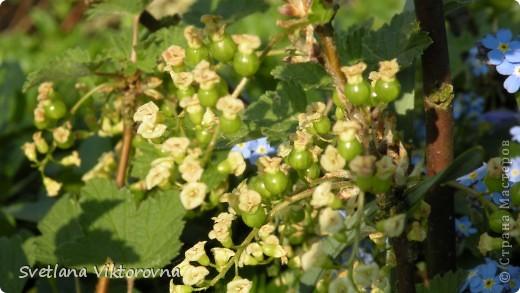 Лютик борецелистиый — Ranunculus aconitifolius L.    http://flower.onego.ru/lukov/ranuncul.html фото 34