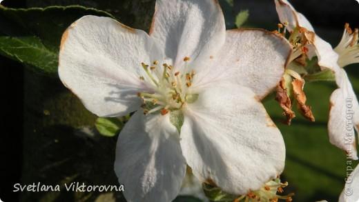 Лютик борецелистиый — Ranunculus aconitifolius L.    http://flower.onego.ru/lukov/ranuncul.html фото 38