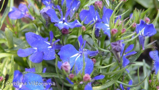 Лютик борецелистиый — Ranunculus aconitifolius L.    http://flower.onego.ru/lukov/ranuncul.html фото 40