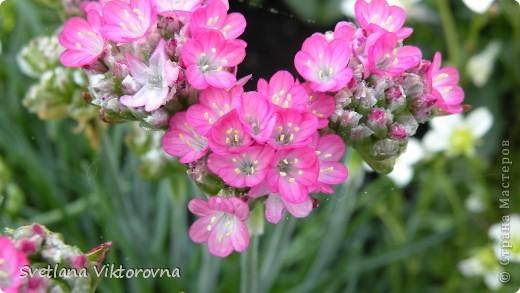 Лютик борецелистиый — Ranunculus aconitifolius L.    http://flower.onego.ru/lukov/ranuncul.html фото 42