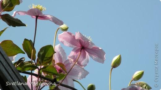 Лютик борецелистиый — Ranunculus aconitifolius L.    http://flower.onego.ru/lukov/ranuncul.html фото 44