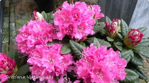Лютик борецелистиый — Ranunculus aconitifolius L.    http://flower.onego.ru/lukov/ranuncul.html фото 46