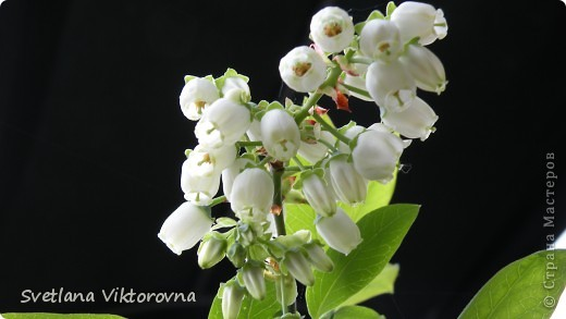 Лютик борецелистиый — Ranunculus aconitifolius L.    http://flower.onego.ru/lukov/ranuncul.html фото 53