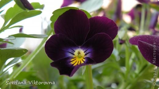 Лютик борецелистиый — Ranunculus aconitifolius L.    http://flower.onego.ru/lukov/ranuncul.html фото 55