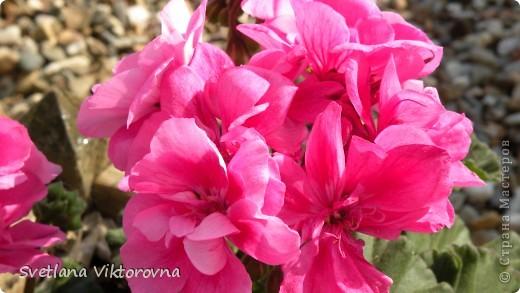 Лютик борецелистиый — Ranunculus aconitifolius L.    http://flower.onego.ru/lukov/ranuncul.html фото 56