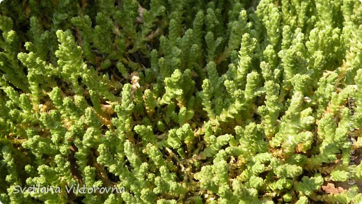 Лютик борецелистиый — Ranunculus aconitifolius L.    http://flower.onego.ru/lukov/ranuncul.html фото 58