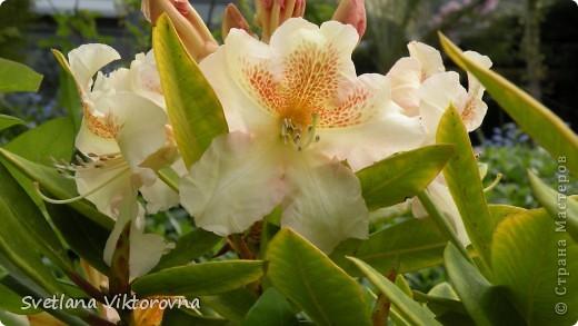 Лютик борецелистиый — Ranunculus aconitifolius L.    http://flower.onego.ru/lukov/ranuncul.html фото 60