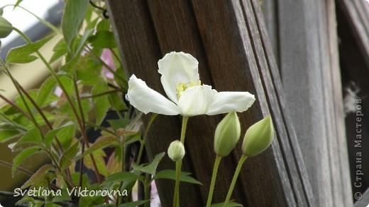 Лютик борецелистиый — Ranunculus aconitifolius L.    http://flower.onego.ru/lukov/ranuncul.html фото 64