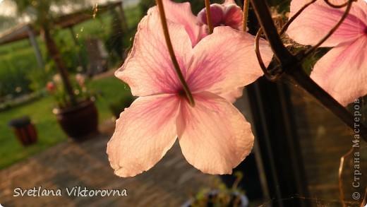 Лютик борецелистиый — Ranunculus aconitifolius L.    http://flower.onego.ru/lukov/ranuncul.html фото 45