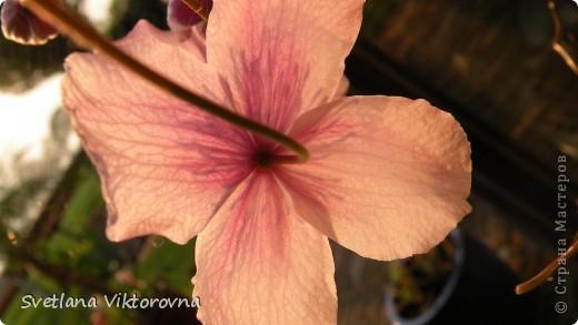 Лютик борецелистиый — Ranunculus aconitifolius L.    http://flower.onego.ru/lukov/ranuncul.html фото 65