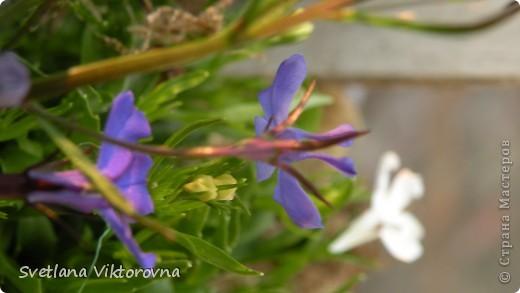 Лютик борецелистиый — Ranunculus aconitifolius L.    http://flower.onego.ru/lukov/ranuncul.html фото 41