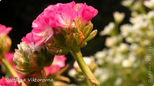 Лютик борецелистиый — Ranunculus aconitifolius L.    http://flower.onego.ru/lukov/ranuncul.html фото 43