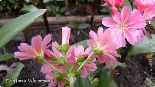 Лютик борецелистиый — Ranunculus aconitifolius L.    http://flower.onego.ru/lukov/ranuncul.html фото 25