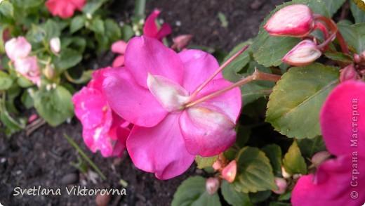 Лютик борецелистиый — Ranunculus aconitifolius L.    http://flower.onego.ru/lukov/ranuncul.html фото 21