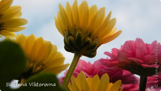 Лютик борецелистиый — Ranunculus aconitifolius L.    http://flower.onego.ru/lukov/ranuncul.html фото 16