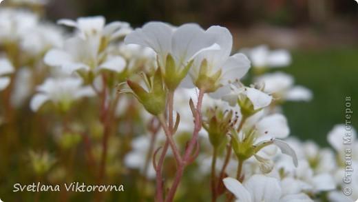 Лютик борецелистиый — Ranunculus aconitifolius L.    http://flower.onego.ru/lukov/ranuncul.html фото 4