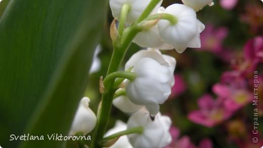 Лютик борецелистиый — Ranunculus aconitifolius L.    http://flower.onego.ru/lukov/ranuncul.html фото 52