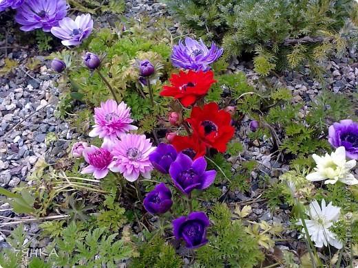 Анемоны - просто красавицы фото 3