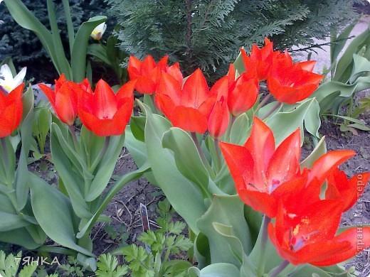 Анемоны - просто красавицы фото 12